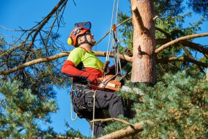Arborist high up in Florida pine tree