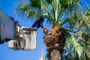 arborist in a bucket lift trimming a palm tree