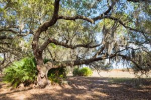 amazing live oak with spanish moss