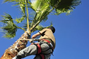 tree surgeon at work in a palm tree with safety harness