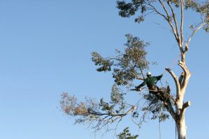 climbing arborist with ropes cutting down large tree