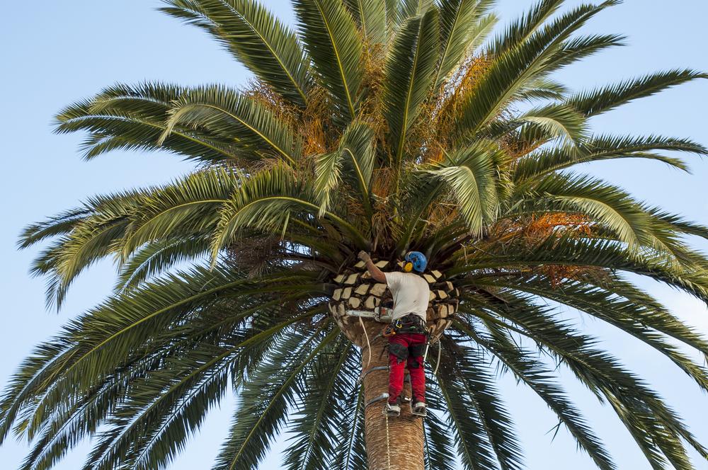 Arborist trimming a palm tree