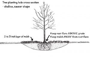 Cross section diagram of ideal tree planting hole